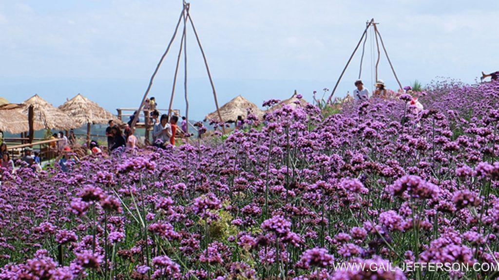 Verbena flower field Khao Kho  碧差汶府