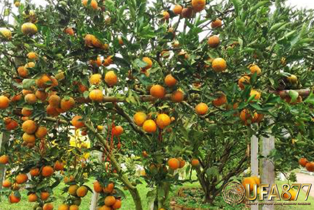 橙色花园Thanathorn2