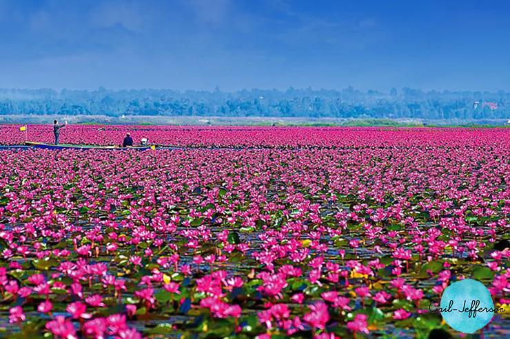 红莲海Red Lotus Sea2